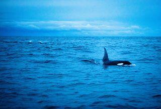 fjordsofnorway lifeunderwater naturepic norge norway orcas photography skjerv wildlifephoto winterinnorway