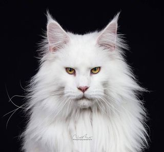 maine_coon_of_instagram catsloversworld athens furryfriends catloversclub catlovers catlover catofday cat catphotos catphotography mainecooncat greekmainecoons greekcats royalty majestic coppereyes whitecat catsofinstagram maine mainecoon maincecoonsofinstagram adrastiacoons