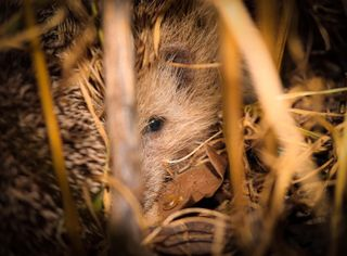 nightphotography hedgehogs hedgehog photogrid photoshoot photograph animals naturephotography