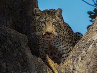 climb climbing eyes impala bigcat bigcats leopard natgeowild earthfocus wildlifelovers wildlifeplanet fstoppers wanderlust bbcearth bbctravel wildlifephotography sony masterpiece worldtraveler agameoftones natgeoyourshot natgeo thepipas2020