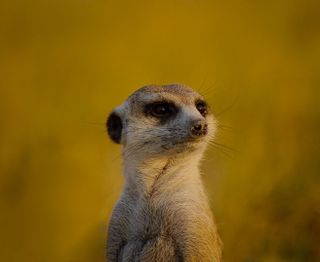 animalfriends animallovers animalsofinstagram africantravel africanadventure photographer photography naturelovers nature agameoftones desertphotography desertlife desert baby meerkat wildlifephotography