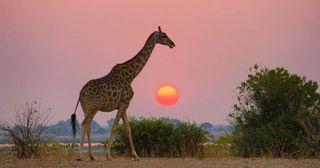 wildlife wildlifephotography wild photography natgeotravelpic natgeo botswana chobe giraffe