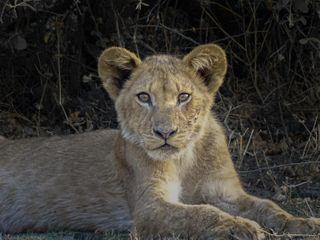 lioness eyes cub baby animallovers animals photooftheday photography naturelovers naturephotography nature wildlife africa lionking lions lion agameoftones wildlifephotography