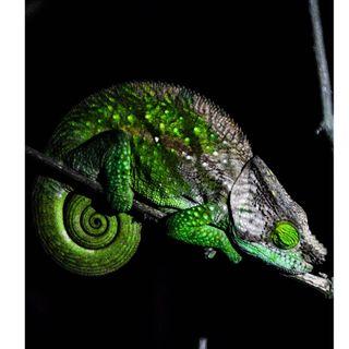 adventure camaleon madagascar night nikon photography