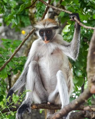 photographylovers photographer photooftheday interestingfacts beautifuldestinations dslrphotography nikon nikonphotography travelguide travelgram travelphotography travel natgeowild natgeoyourshot natgeotravel natgeo animals tanzania zanzibar redcolobus endemicspecies endemic monkey