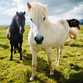 iceland portait scandinavian scandinavia whitehorse wild horses travel animals