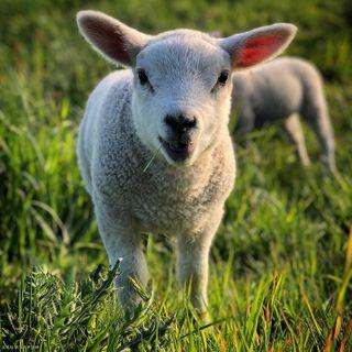 insta instadaily netherlands pakistan ijburg instagram instagood instaanimal nature cute photography travelphotography baby goat sheep animals amsterdam picoftheday