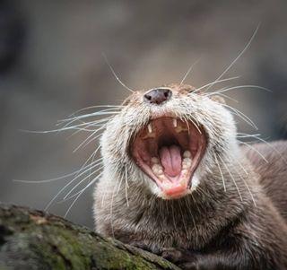 nature naturephotography nikond500 nikongermany otter otterlove tiergarten trynottolaugh wildlife wildlifephotography yourshotphotographer zoo zooheidelberg