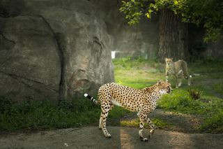 afrika afrikaanimals bigcat cheetah cheetahs fastcat KissBPhotography nationalgeographic nature naturephotography picfair picfaircommunity picfairpets picfairplus picfairstore wildlife wildlifephotography