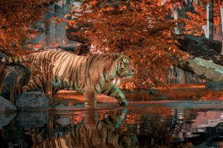 bigcat colors KissBPhotography nature orange tiger tigerking tigers wildlife