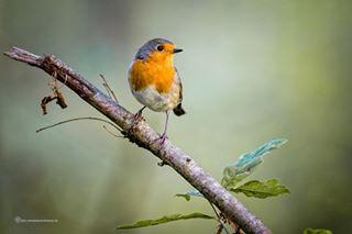 vogelfotografie tierfotografie rotkehlchen naturfotografie frühling fotos_aus_hamburg fotokurse annette_wiechmann