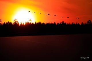 eosr canon birdlife instagood your_best_birds beautifuldestinations photooftheday picoftheday country sunset birdsofinstagram naturereserve nature natgeoyourshot sweden_nature scandinavia sweden_images cranesofhornborgasjon sverigeimages cranes Hornborgasjon Trandansen