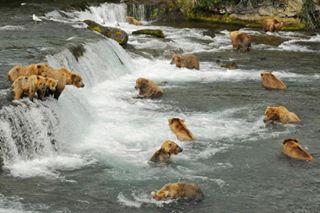 fishing alaska relatives katmainationalpark nationalgeographic katmai bear wild christmas family nature waterfalls water naturephotography wildlife river