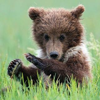 naturephotography bearcommander cute cub wildlife alaska nature wild