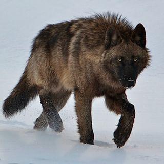 bearcommander wolves wildlife naturephotography wild yellowstone nationalgeographic nature