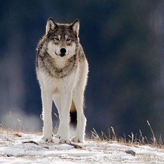 naturephotogrpahy workshop photos guide yellowstone nature wildlife wolf photography winter wild