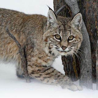 cybermonday snow nature christmas wildlife bobcat cybermondaysale winter naturephotography surprise wild