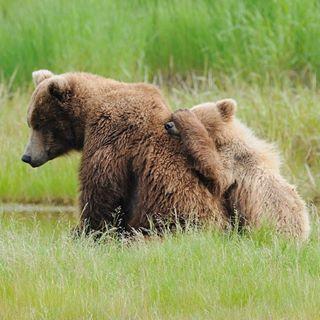hiding grizzlycub precious naturephotography nationalgeographic wildlife wild bearcommander cub grizzlybear alaska cute wildlifephotography nature adorable