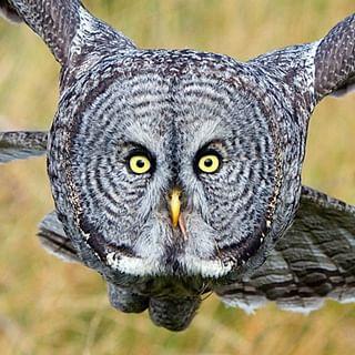 bird grace flying audubon owl nature wild greatgrey nationalgeographic wildlife power naturephotography