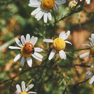 hiyapapayaphotoaday viewbug belgianclicks belgianshooters universal_ladybug macro_brilliance macrohappiness macro_perfection rsa_main infamous_family royalsnappingartists inthemoodfor_macro natures_moods nb_nature_brilliance naturehippys_ lensloves_nature allkindsofnature discoverearth daisies naturephotography macro ladybug flowers insects animals spring nature