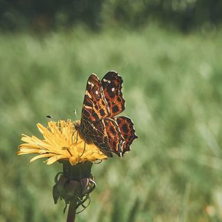 beginswithbweek_nio nothingisordinary soulmadebutterfly 9vaga_butterfly9 total_butterflies yellowflowers green discoverearth allkindsofnature naturehippys_ nb_nature_brilliance butterfly nature butterflyphotography insects animals spring naturephotography butterflies