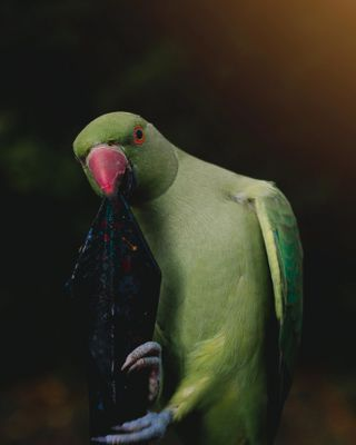 1750mm eos600d canonphotography amateurphotography photographer photography houseoftones park hydepark unitedkingdom england london bird parrot