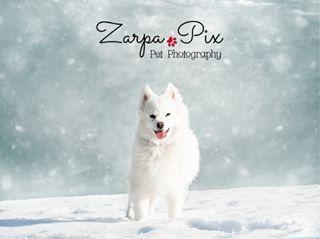 snowday perrosdeinstagram dogsofinstagram perro perros japanesespitz spain playtime montaña animales dog europe mountain barcelona pyrenees rescuedog mascotas lleida snowdog guau miamor unconditionallove catalunya
