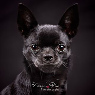 chihuahuainsta petphoto omdem10mkii spain perros dogs chihuahua zarpapix dog_features chien catalonia instapet onlychihuahuas chihuahuas getolympus chihuahualife chihuahualove puppy photooftheday petphotography buddies