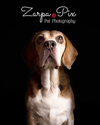 hounddog beagleloveit barkhappy dogoftheday woof petphotography beagleword beaglemasters perros getolympus dogs pets_of_instagram toyota_dog instaperros omd10mkii beagleslover dognose dogstargram beaglelover zarpapix beagle_features boopmynose houndsofinstagram buddies studio
