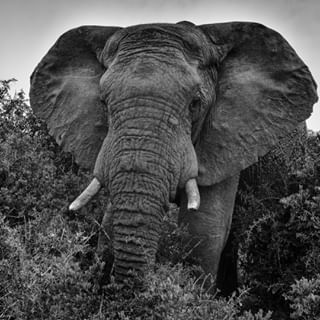 africa animalcrossing animals animaux blackandwhite bw_photooftheday bw_shots connectionspics elephant geo gurushots leica letsgoeverywhere lonelyplanet monochrome nationalgeographic naturephotography photooftheday safari safarienafrique safariinafrica southafrica travel traveladdict travelgram traveling vacances