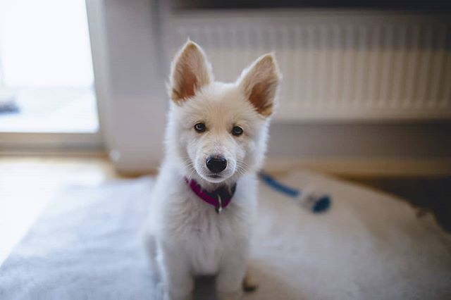 35mm 5dmkiv adorable animal beautiful bergerblancsuisse canon cute dog hvitgjeterhund love pet photography puppy puppyeyes puppylife sajka swissshepherd tb vitherdehund