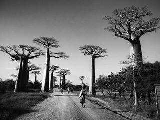 baobabs blackandwhite indianocean landscape landscapephotography madagascar malagasy morondava nature oceanindien travel travelphoto