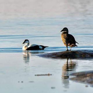 d500 nikoncaptures nikoncamera birdphoto åland föglö wildelifephotography spring