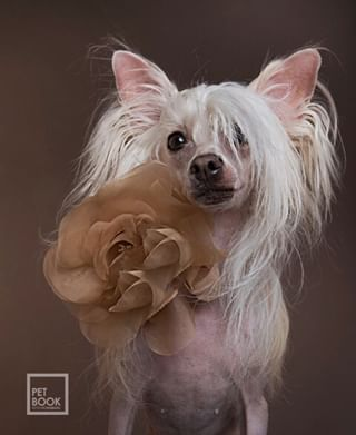 professionalphotography professionaldogphotographer petbookretratoanimal instapet instadog crestadoschinos amoresperros