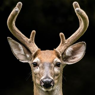 wildlifephotography nature_shooters naturephotography nature_brilliance instagood igscwildlife deer animals amateurphotograpy