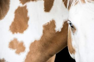 countryside geneve makehorse cowboyhorse blueeyes spa horse refugededarwyn