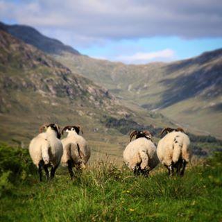 highlandsofscotland sheepofinstagram highlandcollective sheeps scotland topscotlandphoto scottish sheepworld scotlandshots igerseurope europe_pics_com scottishsummer scottishhighlands highlands sheep visitscotland sheepjokes igersscotland
