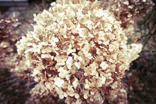 brown canon canong1xmarkii flower followforfollow forsomebody frost garden gold hortensja hydrangea instaphoto instapic kwiaty like4like macro nature o ortensia photography picoftheday plock poland polska simplicity solitude spring winter wiosna zima