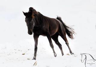 croatiafulloflife horsephotography horsesonsnow horse mare snow younghorse photography croatia horses happyhorse freedom varazdin canter snowhorse pferdefotografie freehorse soel03 photo blackbeauty kkgarestin blackhorse