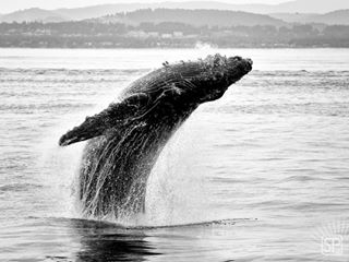 nature animal animallovers natgeotravel bnwphotography bnw jumping humpbackwhale whalewatching bnw_planet_3y animallover monochromatic jaw_dropping_shots nature_perfection animals whales naturegram bnw_globe humpback naturephotography natgeo wildlife nature_brilliance bnwmood oceanphotography picoftheday geoleserfoto nikontop wildlifephotography nikonphotography