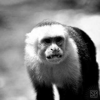 police_bnw wildlife monkeylove animal_sultans bw_instantcatcher themonochromaticlens crow_bnw nikonphotography animallover blooming_animals igscwildlife animals_shots_ ok_animals monkey naturephotography natgeo bnwgreatshots animallovers animalphotography nikontop bnwphotography bnwmood bnw_europe photographylover naturegram wildlifephotography capuchin bwbeauty bnw_planet_2018 all_animals_addiction
