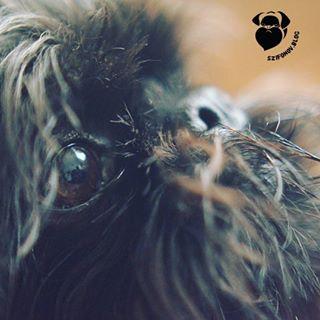 hungary szifonov closeup budapest dogsofinstagram dogsofbudapest dog kutya szifon belgiangriffon griffon