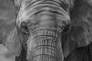 theglobewanderer elephant wildlifefriend polandways nature_perfection wildlife_seekers moodygrams photographylovers moodylover animlslife bestnatureshot mammal naturalphotoplus discoverglobe natgeoanml vzcopoland main_vision wildgeography animalelite instanature natgeopl earthfocus wildlifephotography wildlife_perfection wildlifeplanet animalsmood photoarena_nature artofvisuals zdjeciemiesiacacanon