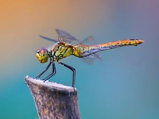 animals macro beautiful natgeoinsects dragonfly detail art insect insects spring photo natgeo nature cute cool bugs naturelovers light macro_photo bug wings awesome wildlife macrophoto