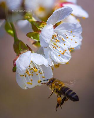 macroworld_tr honeybee nature detail flowersandmacro natgeo macro_captures bns_macro insects insect wildlife savethebees macro photo macro_freaks macroclique awesome igbest_macros cool macro_spotlight macromood spring bee cute bees top_macro animals