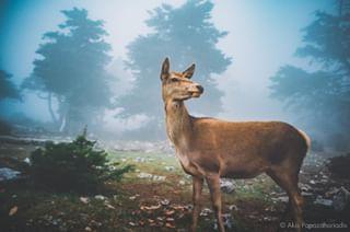 naturephotography winter deer parnitha