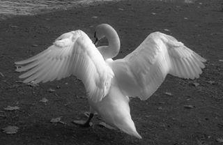 blackandwhite picoftheday munich egarten muc animal nature englischergarten swan muenchen pictureoftheday photography