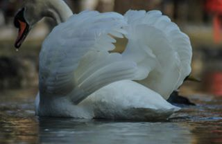 nature muc animal naturephotography munich egarten tamron germanalphas swan photography muenchen sonyalpha