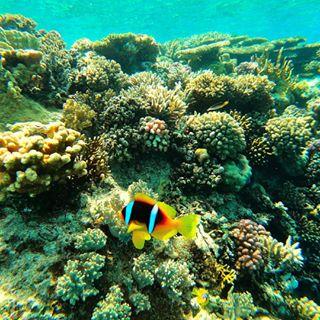 ägypten anemonefish aquaphotography blue color colorfish egypt gopro indtalike instagood life nature photography photooftheday red redsea reef reiselust riff rotesmeer schnorcheln seewildlife seeworld travel travelphotography travelwithkayak underwater unterwasser urbex watercolor