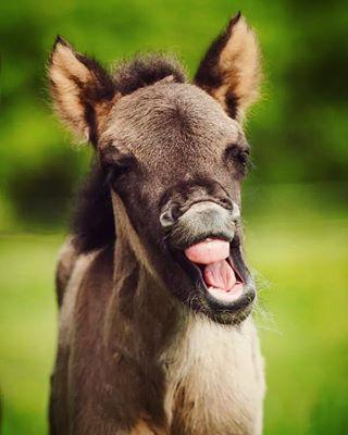 bestofig bestoftheday bockholtshoff dailyinsta häst hästar hestur horse horsephotography horsesoficeland icelandic icelandichorse igersgermany igershh igersoftheday instadaily isi isigram isländer islandpferd islandpferde islenskihesturinn myinstafoal nikon nikondeutschland photooftheday picoftheday pony rockdogdesign